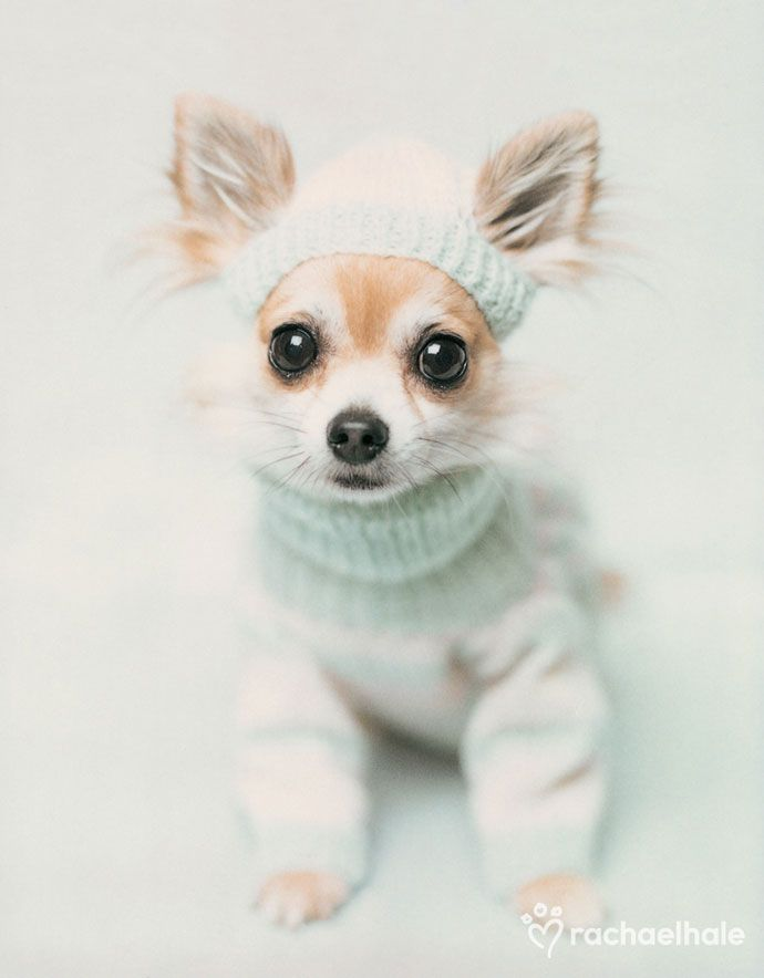 Chloe (Chihuahua) - Complete with her winter woollies on, Chloe warmed to her role in front of the camera.  (Pic by Rachael Hale)