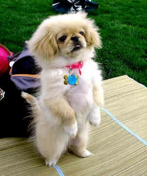Pekingese - the infamous meerkat pose. Loved my Pekingese. This is not a picture of her, but it sure looks like her.