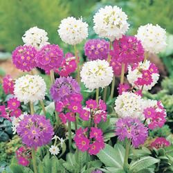 Primula denticulata 'Mixed' - Z2-8. Germination: 10-30 days, 60-68F. Well-drained soil. 9in.