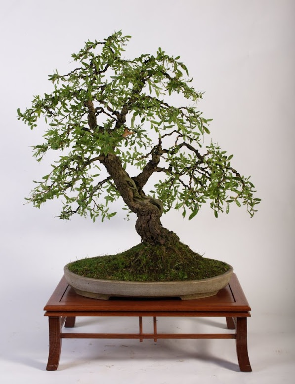 Bonsai, Weeping willow - 盆栽, シダレヤナギ (枝垂れ柳)