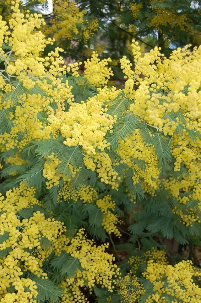 Acacia dealbata (known as silver wattle, blue wattle or mimosa) is a species of Acacia, native to southeastern Australia in New South Wales, Victoria, Tasmania, and the Australian Capital Territory and widely introduced in Mediterranean, warm temperate, and highland tropical landscapes.