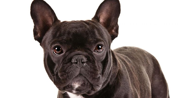 Right breed for you? French Bulldog information including personality, history, grooming, pictures, videos, how to find a French Bulldog and AKC standard.