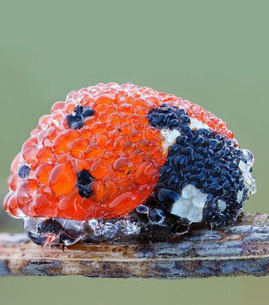 Ladybug In Morning Dew