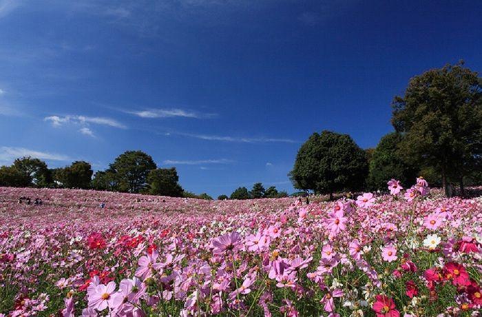 東京都内にありながら、一年中季節の花を観賞できる昭和記念公園。広大な敷地の花の丘では、春にはポピー、秋には400万本のコスモスが咲き誇ります。10月初旬頃に見頃となるコスモス畑は圧巻!こちらでは、ピンク色の他に珍しいイエローのコスモスも観賞することができます。