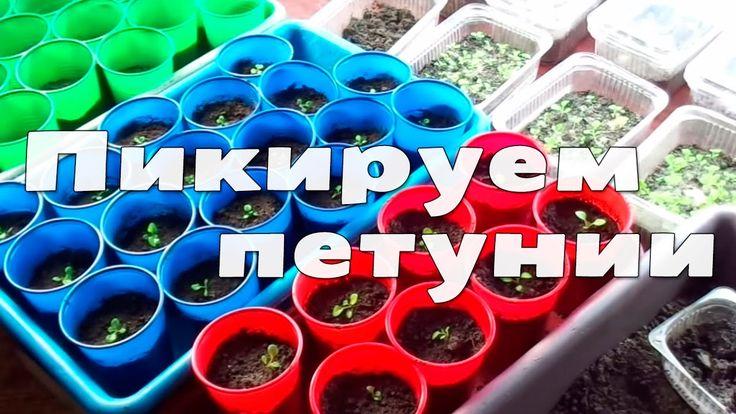 Посадка и выращивание петуний. Пикировка (часть 4)