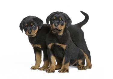 Cuccioli di cane di razza Rottweiler