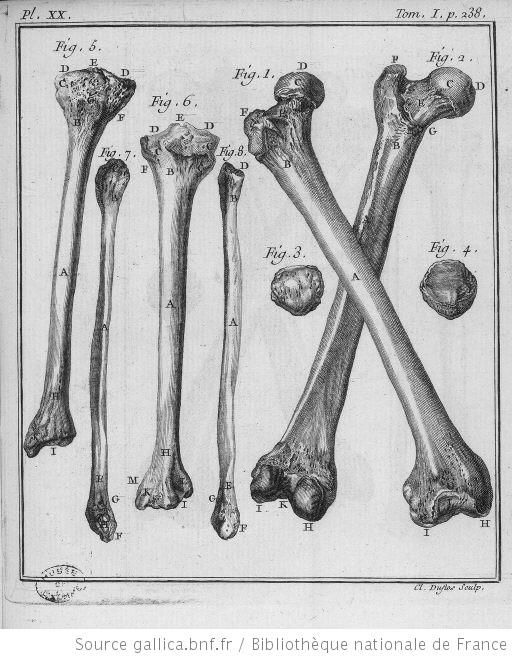 anatomie humaine - anatomie humaine Fig 1 et 2 femur Fig 3 et 4 rotule Fig 5 et 6 tibia Fig 7 et 8 perone - Gravures, illustrations, dessins, images