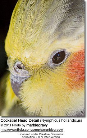 413 best images about Cockatiels on Pinterest | Birds ...
