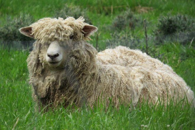 Gaspereau Valley Fibres Farm sheep by Christine W - Wolfville , Nova Scotia, Canada May 2014