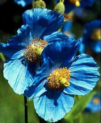Meconopsis betonicifolia, the Himalyan Blue Poppy.  This is such a stunningly beautiful flower, but alas, no match for my hot humid southern garden.  I want to move to the Pacific Northwest so I can grow these!