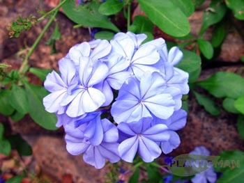 how to stop plumbago from spreading