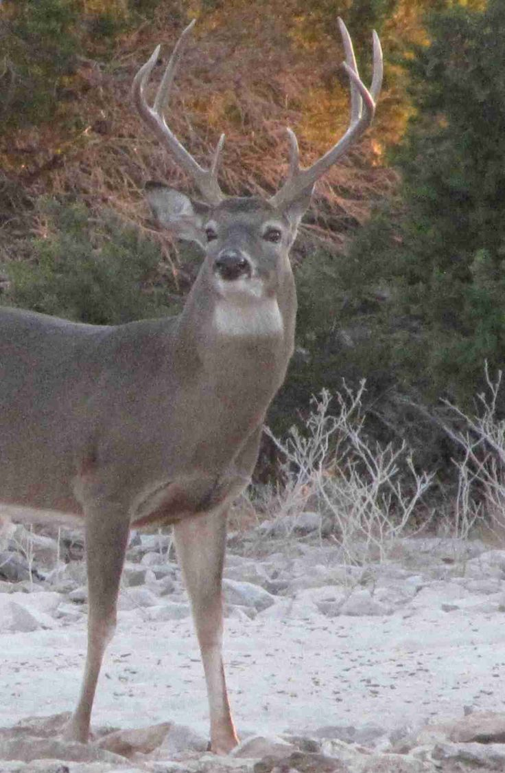 whitetail deer images | Whitetail Deer Hunting Trips in Texas for Trophy Bucks, Guided Hunts!
