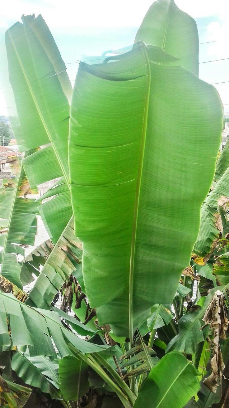 Folha de bananeira, mais de 2 metros.