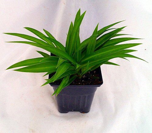 Shamrock Spider Plant U2013 Easy To Grow U2013 Cleans « Holiday Adds