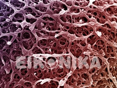 human zona pellucida (egg coat). egg with zona pellucida. Credit Yorgos Nikas  www.eikonika.net