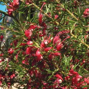 Grevillea Cherry Ripe (small) - pretty name, and small red flowers.