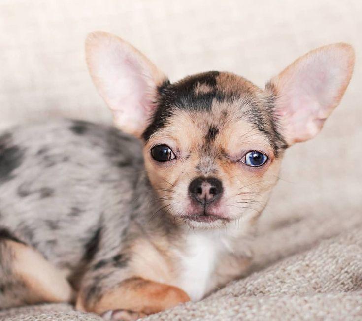 40 cute female chihuahua dog names chihuahua dogs dog