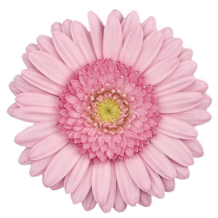 840 besten gerbera Bilder auf Pinterest | Gerbera, Vase und Blumenvasen