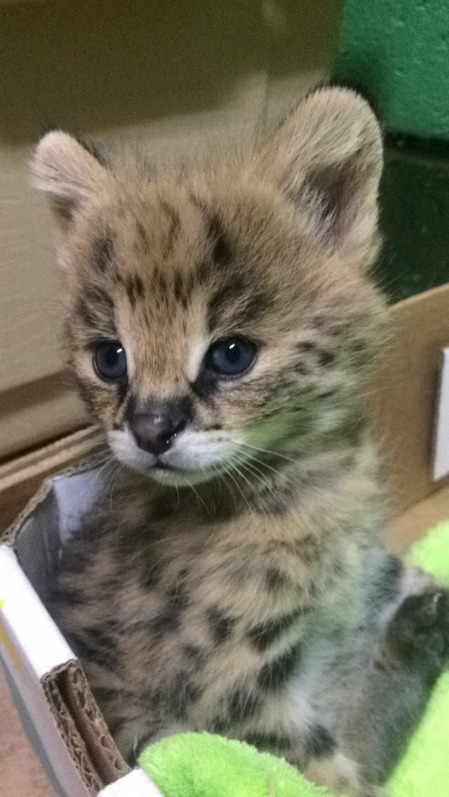 """Meet Capron Park Zoo's new serval kitten. Zuberi is a two-month-old Serval kitten whose name means """"strength"""" in Swahili. His strength is exhibited by the playful exuberance he uses to approach life."""
