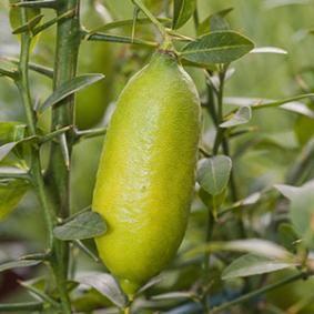 Citron caviar - F. Marre - Rustica