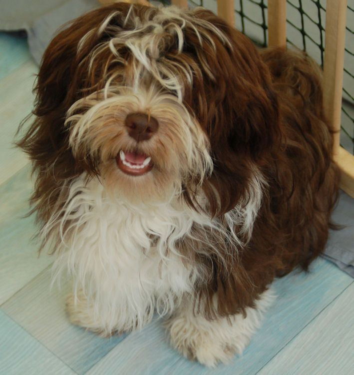 295 best Havanese images on Pinterest Animals Dog and Havanese