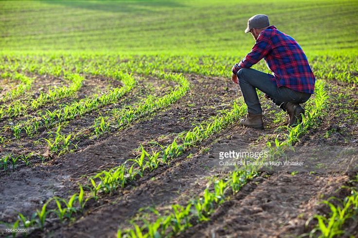Farmer With New Growth Corn Crop Stock Photo | Getty Images