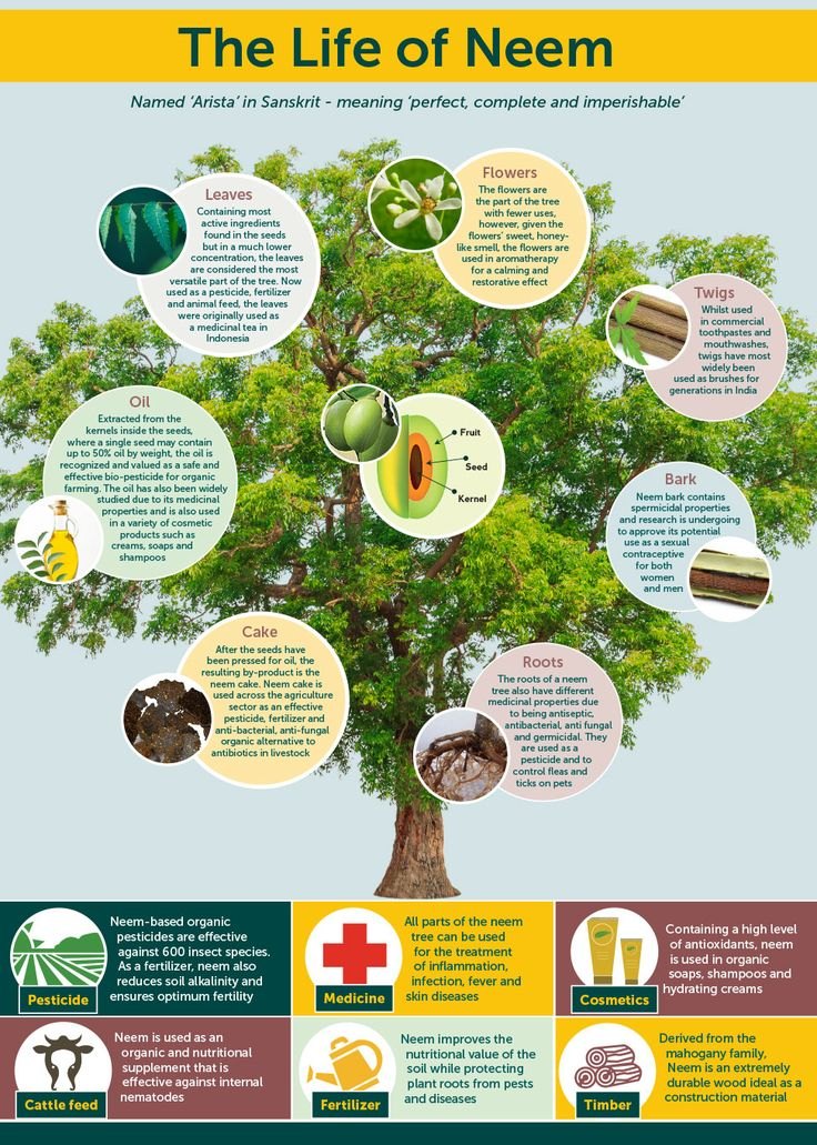 """The neem tree, identified by the United Nations as the """"tree of the 21st century, is renowned..."""