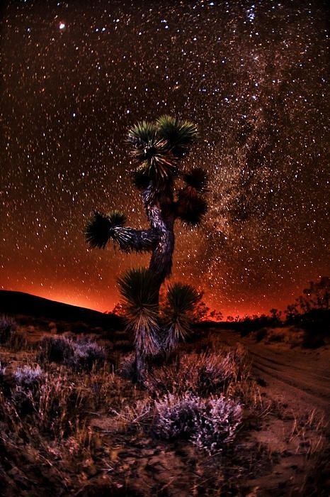 Joshua tree, Joshua Tree National Park, California; photo by Shane Lund. The desert is such a pretty place.