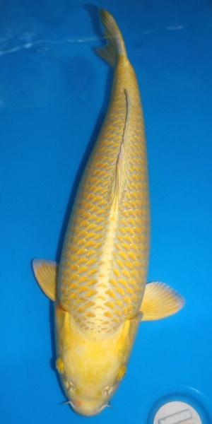 284 best koi fish images on pinterest for Yamabuki koi fish