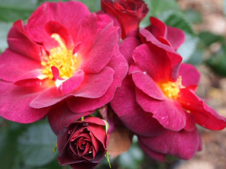 SechzehnEichen RosenSchätze - der Rosengarten mit dem Schwerpunkt für Pernetianas