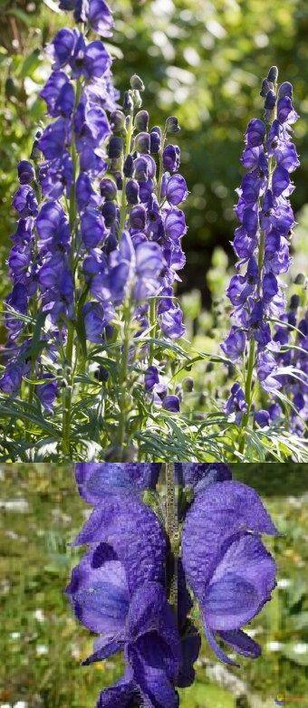 X . Aconitum plicatum (Aconit napel): -La plante la plus toxique de France, aucun remède existant. 3 à 4 g de racine tue en moins d'une heure: On observe un affaiblissement musculaire croissant, nausées, vomissements, arythmie cardiaque, convulsion, paralysie brutal (le corps arrête de trembler brusquement), et enfin la mort.