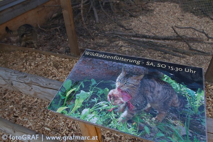 Ein Highlight für die Besucher des Nationalparks ist die Schaufütterung der Wildkatzen. Die Tiere können dabei beobachtet werden, wie sie auf Futtersuche gehen. Inklusive einer kurzen Filmpräsentation über die Wildkatzenforschung im Thayatal und ihre Biologie.  Termine finden sich hier:  http://www.np-thayatal.at/de/pages/wildkatzengehege-157.aspx