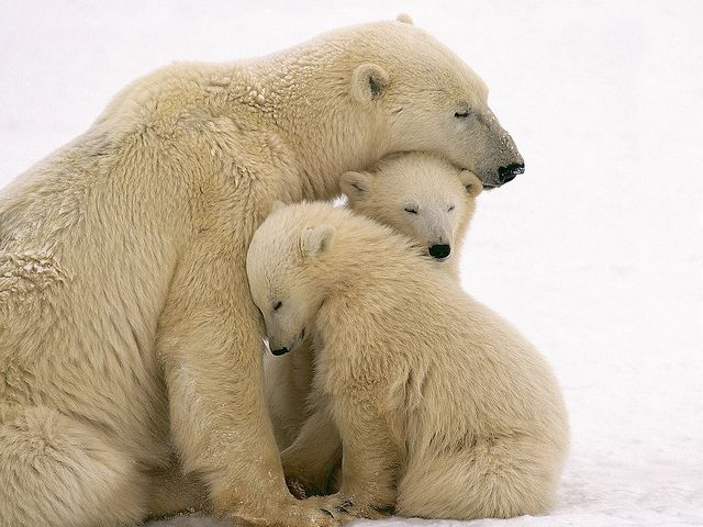 Polar Bear Mother and Cubs Cuddling - Image by © Kennan Ward/CORBIS