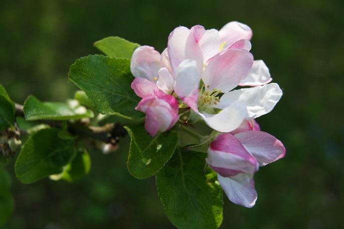 Rosa äppelblom.