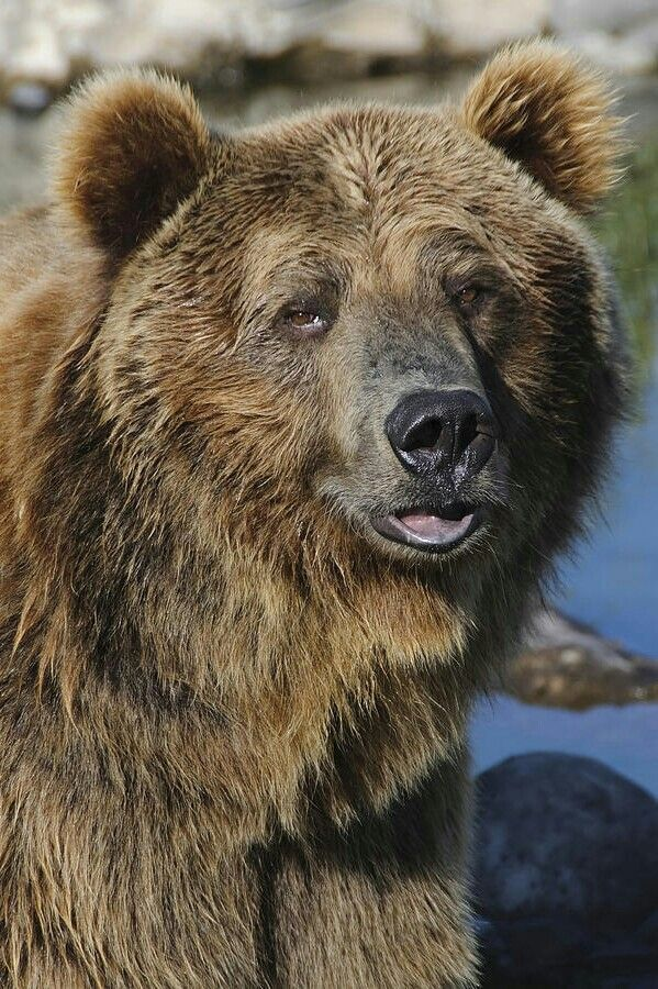 Beautiful Grizzly Bear!