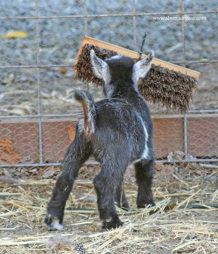 """Self brushing station."" Broom head is zip tied to the fence (easy!!!)  #abstractgoat, #goats, #pygmygoat www.abstractgoat.com"