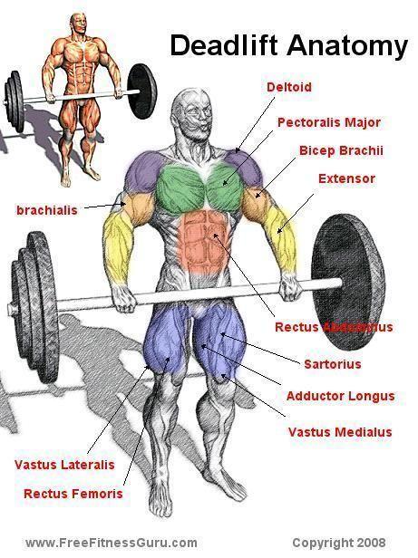 deadlift anatomy - Google Search