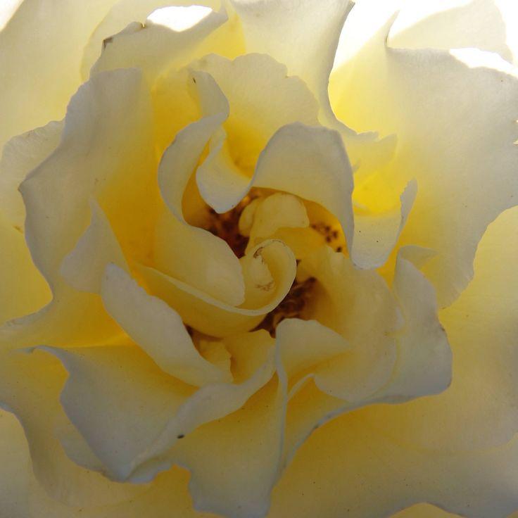 https://flic.kr/p/EUJz2B   Shades of Elina   The beautiful rose Elina glows many shades of cream with the morning sun shining through.