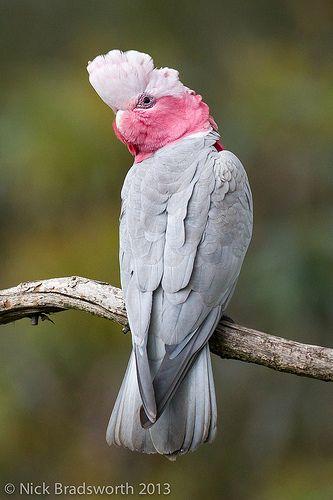 Galah parrots roam free in Australia. - Exotic Birds - by Nick Bradsworth