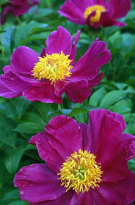 For my garden ... so vibrant! Pianese Flowers