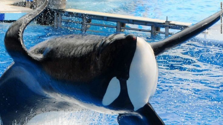Killer whale at center of 'Blackfish' dies. Cause of death? CAPTIVITY! Please boycott any place that exploits cetaceans. Thank you!