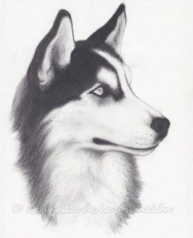 husky sketches | Siberian Husky Drawing Siberian husky by giaveg