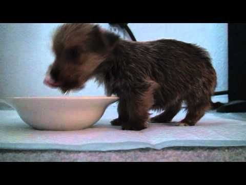 Video of a Yorkie Puppy Balancing on Front Legs to Eat