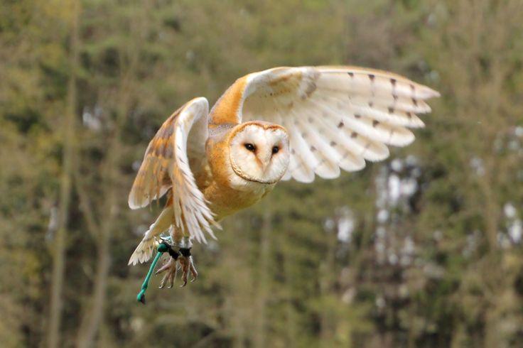 Barn Owl Taking Off 41 best Stryx i...