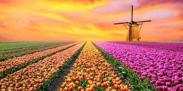 La leggenda dei tulipani (e il significato)
