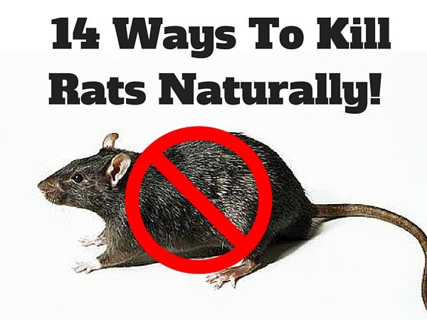 Want to know how to kill rats??? Take a look at some of these ways to kill rats naturally with the ingredients you use at home.
