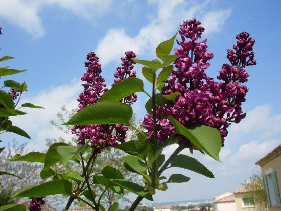 Taille des lilas apr s floraison plante pinterest - Taille des orchidees apres floraison ...