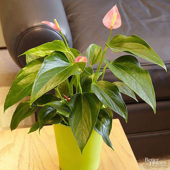 Plantas de interior para pouca  luminosidade. Antúrio. As flores vermelhas, cor-de-rosa, laranja, brancas ou roxas de Anthurium são um presente bem-vindo durante os dias escuros do inverno.  http://www.bhg.com/gardening/houseplants/projects/indoor-plants-for-low-light/?slideId=55b373cf-dd54-40ea-91c5-7f58d7ff064b