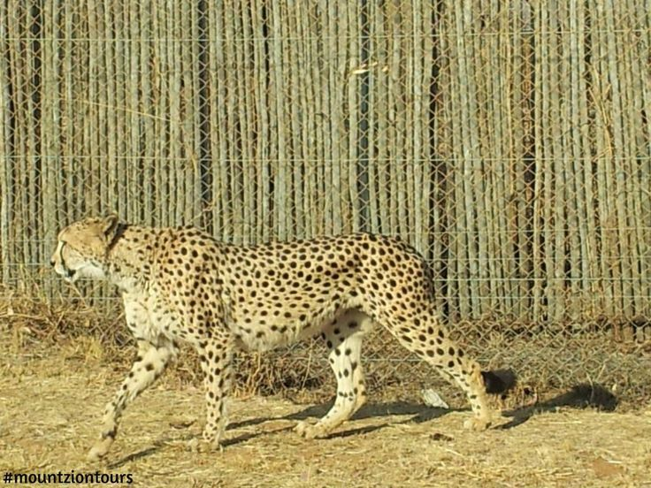 Get the opportunity to interact and take photos with #cheetah at #LionPark with #mountziontours.