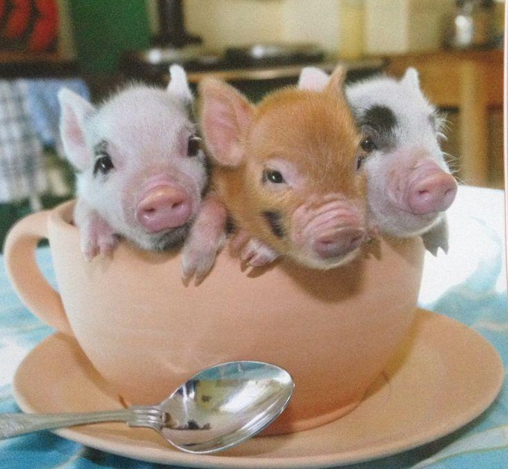 """Teacup"" pigs!! @Caitlin Burton Burton Kiernan Perez @Emily Schoenfeld Schoenfeld Schoenfeld Smith"